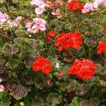 ゼラニウムの花言葉と育て方!アロマオイルの効果や精油の作り方