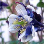 オダマキの花言葉と育て方。合うガーデニング商品を紹介!