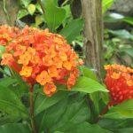 サンタンカの花言葉と育て方や販売店舗を紹介。沖縄三大花とは?