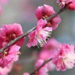 梅と桜の違いや見分け方は?見るだけでわかるポイントを紹介!