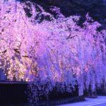 桜の下には死体があるとの噂が?!伝説の元ネタや理由について紹介!