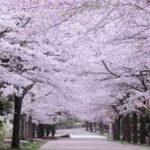 ソメイヨシノはクローンの桜なの?最初の一本や原本のサクラはどの桜?