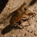 セミには寄生虫がいる?どんな虫で食べる時の注意点は?