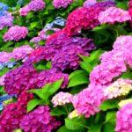 紫陽花の地植えのやり方や方法、注意点は?青、ピンクの作り方は?