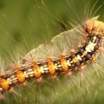 毛虫のアレルギーの反応や症状は?刺された時の対処法はどうする?