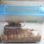 カブトムシの蛹が動かない時の原因や育て方などの生死の確認方法と対処法は?