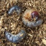 カブトムシの幼虫が動かないのは死んでしまったの?確認方法は?