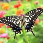 アゲハ蝶は幸運の象徴!仕事運や金運、恋愛運が上がる?