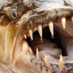 ピラニアは人間を食べる?襲うという危険性はあるの?