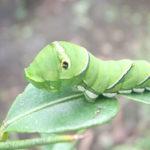 アゲハ蝶の幼虫の食べ物は何?種類別に食べられるものか違う?