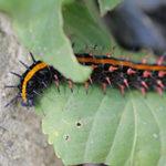 毛虫の黒やオレンジの斑点や線のある虫はなに?駆除や対処法は?