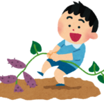 さつまいもの収穫後にするべき手順や保存方法と食べ頃は?