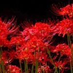彼岸花が怖い理由は花言葉や咲き方にあり?迷信や伝説がすごい!