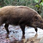 猪の肉には寄生虫がいて食べるのは危険?食べるときに気をつける点は?