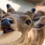 鹿は夜行性で危険?性質や生活や出会った時の対処法は?
