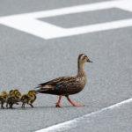鴨の引っ越しはなぜ危険なのに行われる? 海外の反応はどんな?
