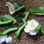 オオスカシバの幼虫の餌(エサ)や飼育の方法は?毒や刺してくる危険は?