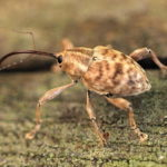 栗虫の成虫が怖い!入っているかどうかを見極める方法や食べる事は?