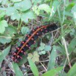 ツマグロヒョウモンの幼虫には毒はある?餌や駆除の方法を紹介!