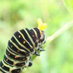 キアゲハの幼虫の期間や餌(エサ)はなに?毒もあるけど動かない?
