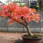 紅葉(もみじ)の育て方!庭や鉢植えで枯れないように育てる方法は?