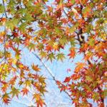 紅葉が枯れる原因や理由を紹介!予防法や対策に役立つグッズ!