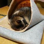 タヌキは冬眠するの?冬はどのようにして越冬するの?