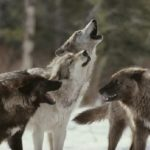 狼の威嚇の鳴き声はかわいくて愛情表現っぽい?
