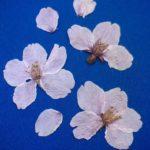 桜の押し花の作る方法や簡単にするコツ!危険という理由は?