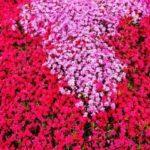 芝桜の北海道で見れる名所!時期や見ごろやおすすめツアーも紹介!